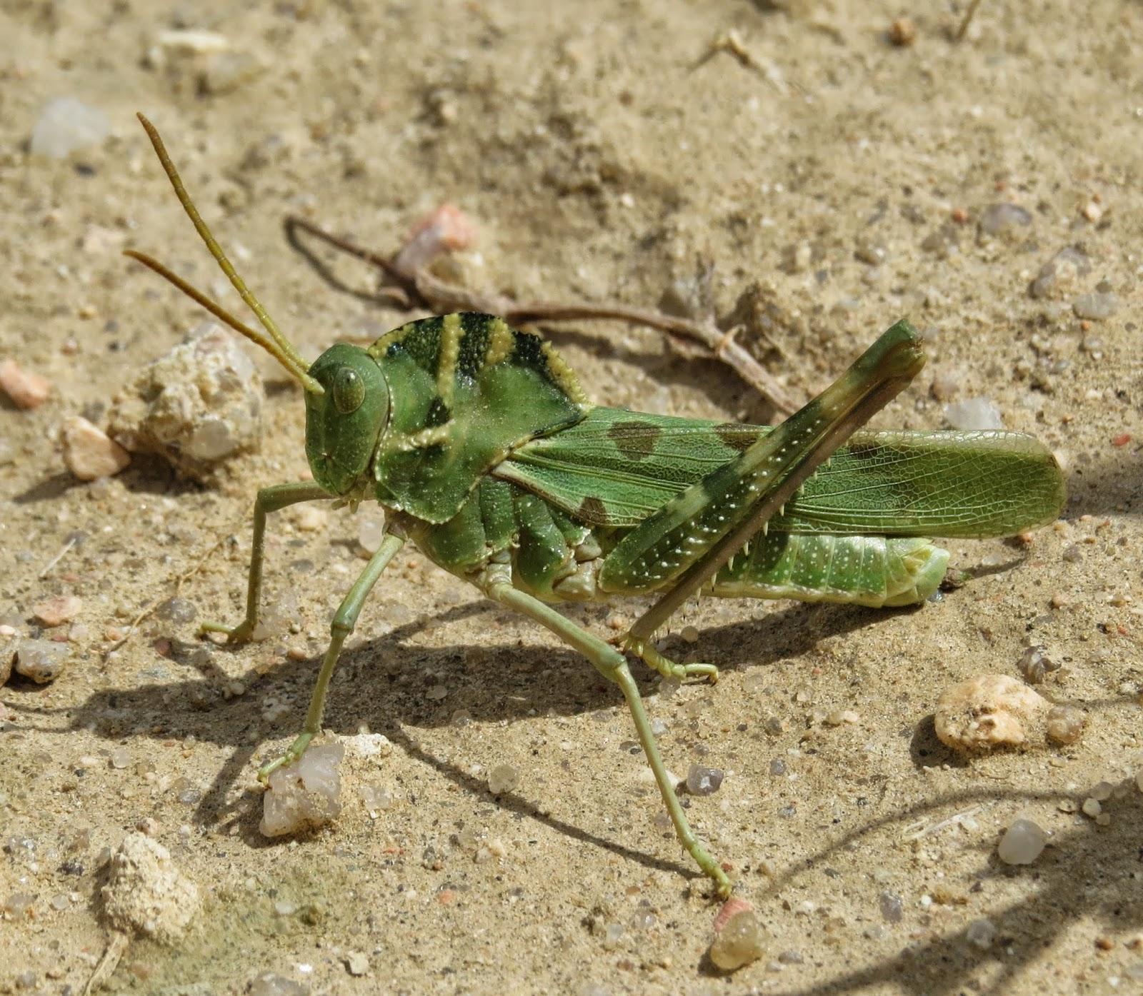 Bug Eric: Great Creste...