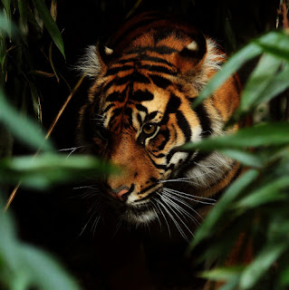 tiger in bushes