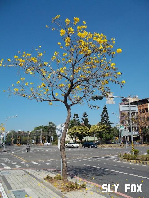 台南黃花風鈴木