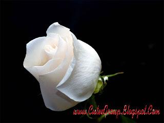 White Rose Wallpaper2
