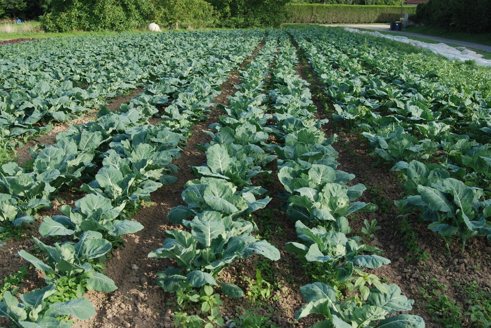 Les jardins de priape des l gumes pour l 39 automne choux - Cuisiner le choux romanesco ...
