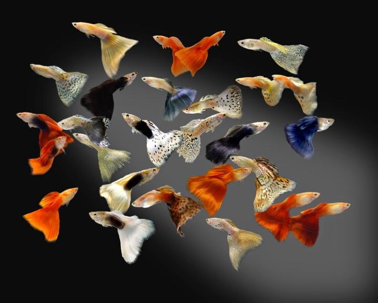 Resultado de imagen para peces guppys