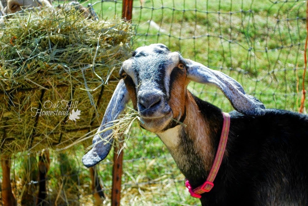 Goats: What Isn't Normal, shared by Oak Hill Homestead