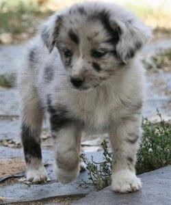 See more mini australian shepherd puppies http://cutepuppyanddog.blogspot.com/