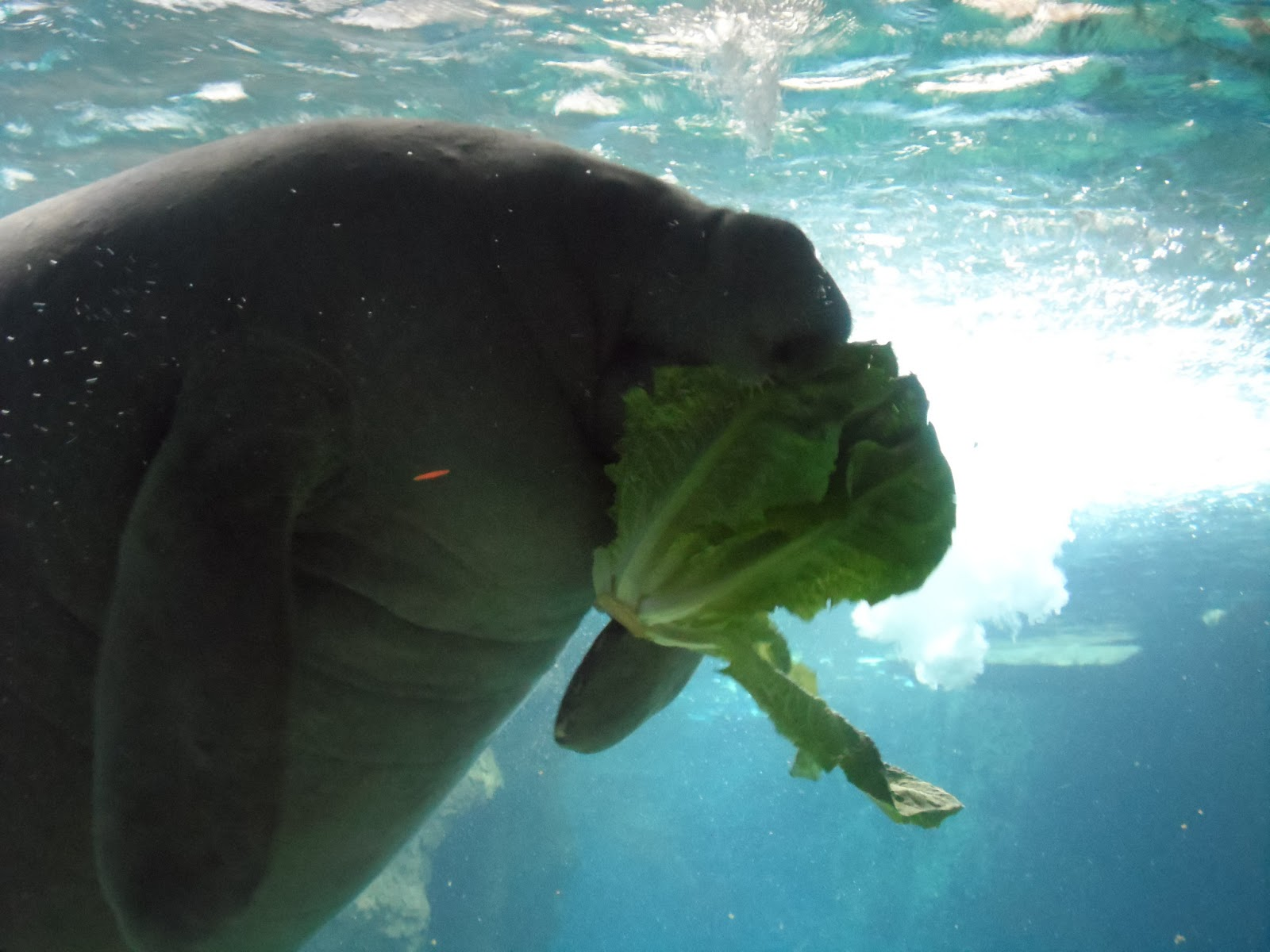 reluctant chauffeur dallas manatee eating lettuce modern art and