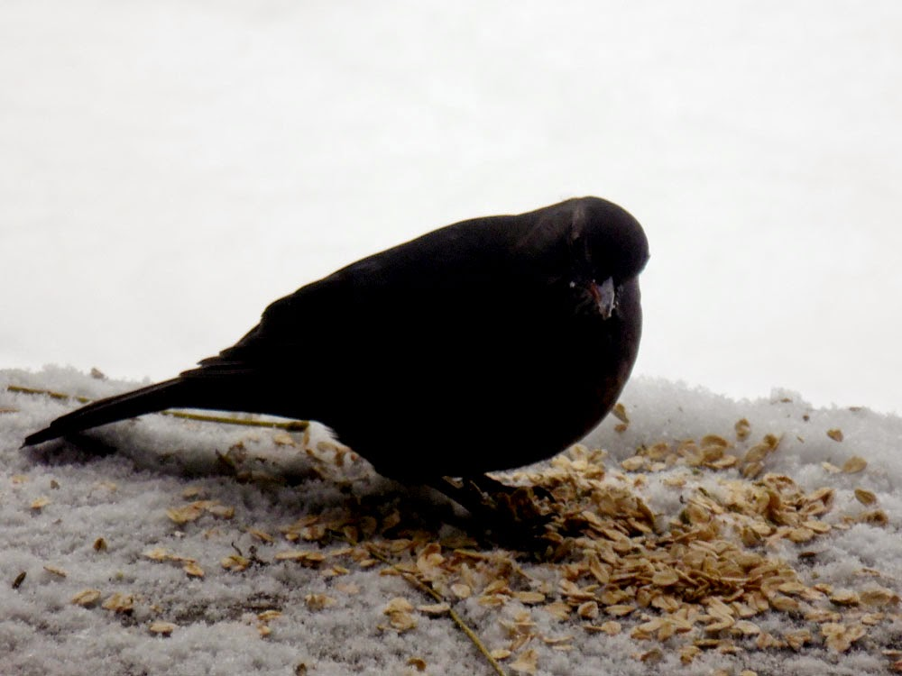 Amsel / blackbird feeding in Winter, photo by Andie Gilmour