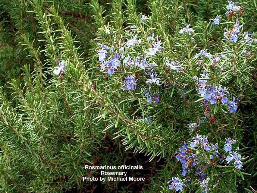 Plantas para alejar insectos home ideas - Plantas ahuyenta insectos ...