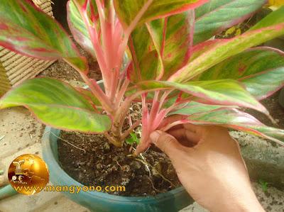 Cara memisahkan bunga aglaonema dari indukannya