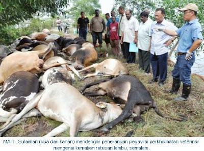 Lembu Mati Diracun