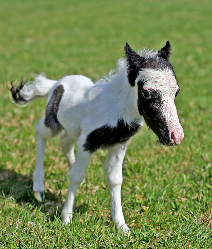 The smallest horse in the world ever - photo#17