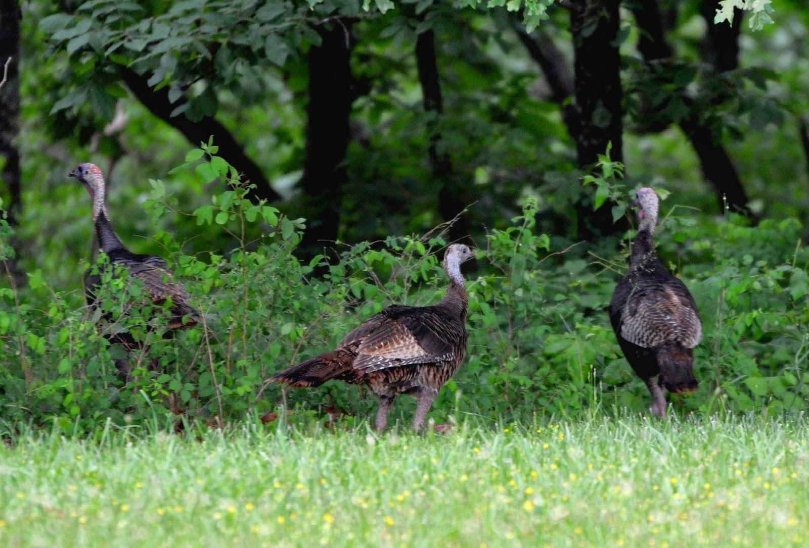 Native American Turkeys | Community Chickens