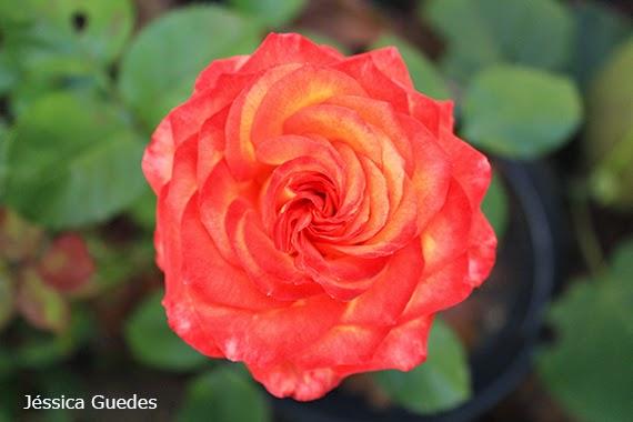 Flor - Fotografia de Jéssica Guedes - Direitos autorais reservados