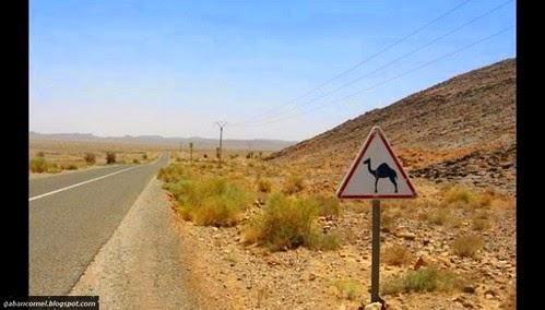 Video Lelaki Ini Kejar Unta Di Tengah tengah Highway