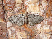 Latest New Macro Moth Species - Sloe Pug