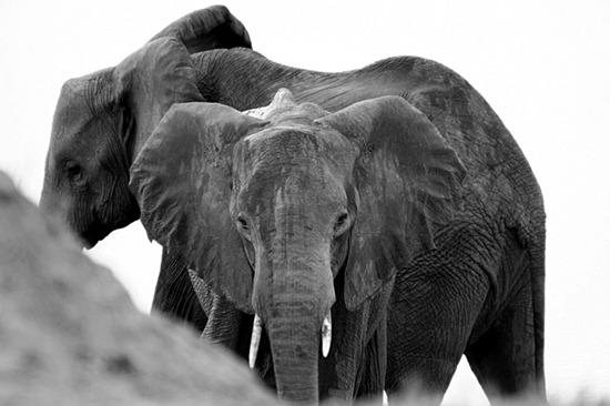 Safari Fusion blog | Giant of Zambia | In love with the African Elephant