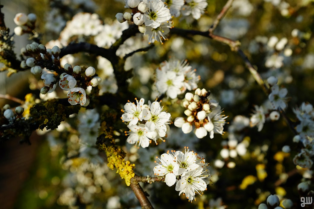 Sloe Blossom 01  - © 2015 Graeme Walker - Garden Photography, Plants, Geology, Creatures