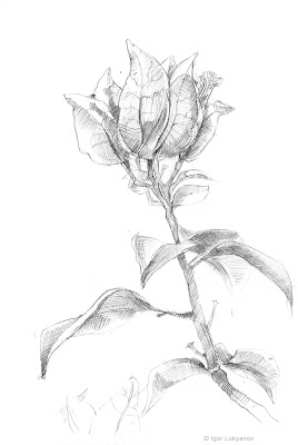 flower sketch,Bougainviller