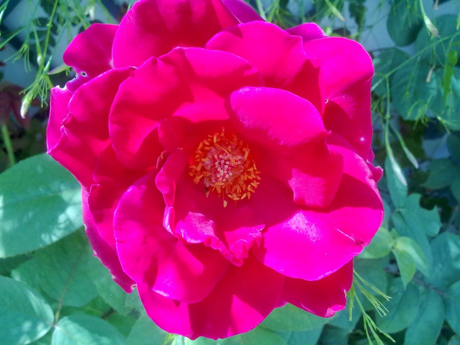 Como injertar una planta de rosa tutorial con fotos NorfiPC