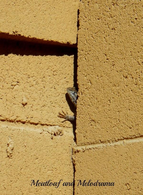 AZ lizard waving from crack in fence
