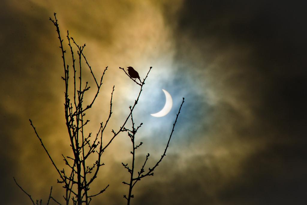[Ftvh] Một chú chim đậu trên một cành cây trong khi Mặt Trăng đang che khuất Mặt Trời trên nền trời ở phía sau. Tác giả : Mister Mac.