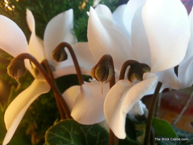 Bunches plants reviewed White Cyclamen in bloom