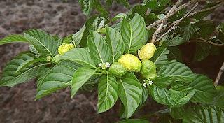 Tanaman Pohon Mengkudu