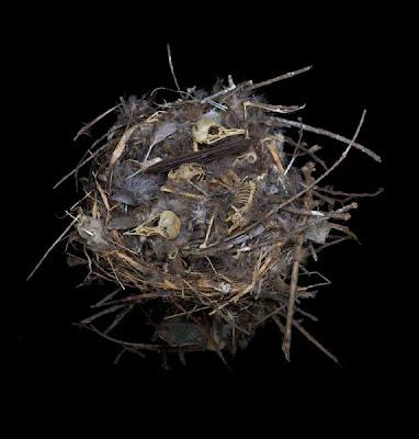 nido de curucucha