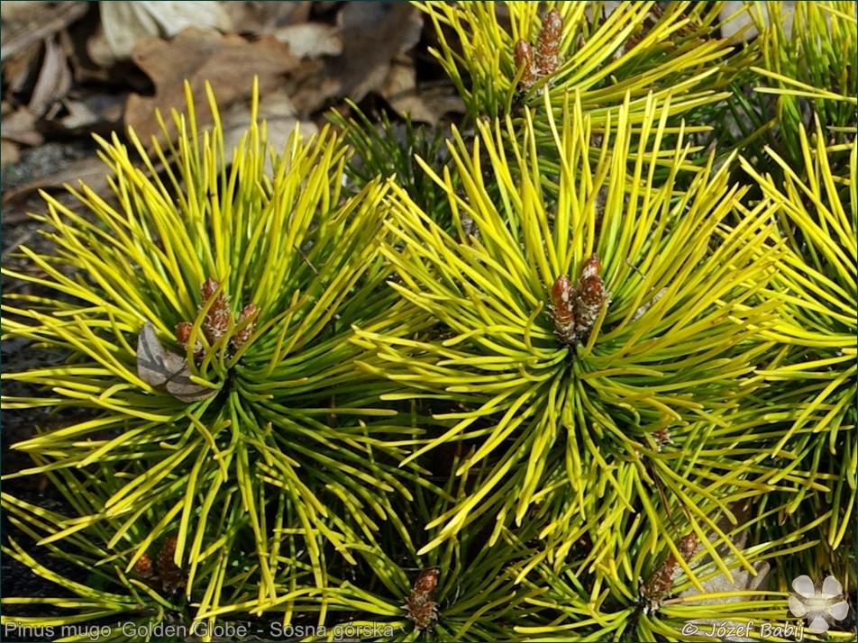 Pinus mugo 'Golden Globe' - Sosna górska 'Golden Globe' igły