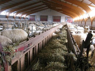 paradilla143 ovejas