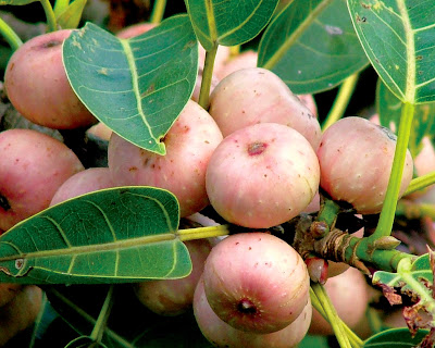 Bo-Tree (Ficus Religiosa) Overview, Health Benefits, Side effects