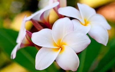 Giảm các triệu chứng viêm xoang bằng hoa sứ
