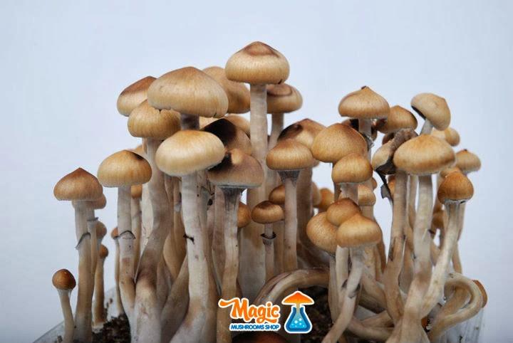 the magic mushrooms shop paddo kweeksets paddo kweekset bestellen. Black Bedroom Furniture Sets. Home Design Ideas