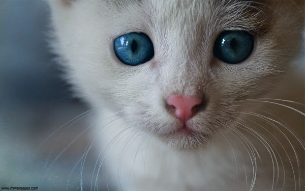 Photo chat blanc avec yeux bleus