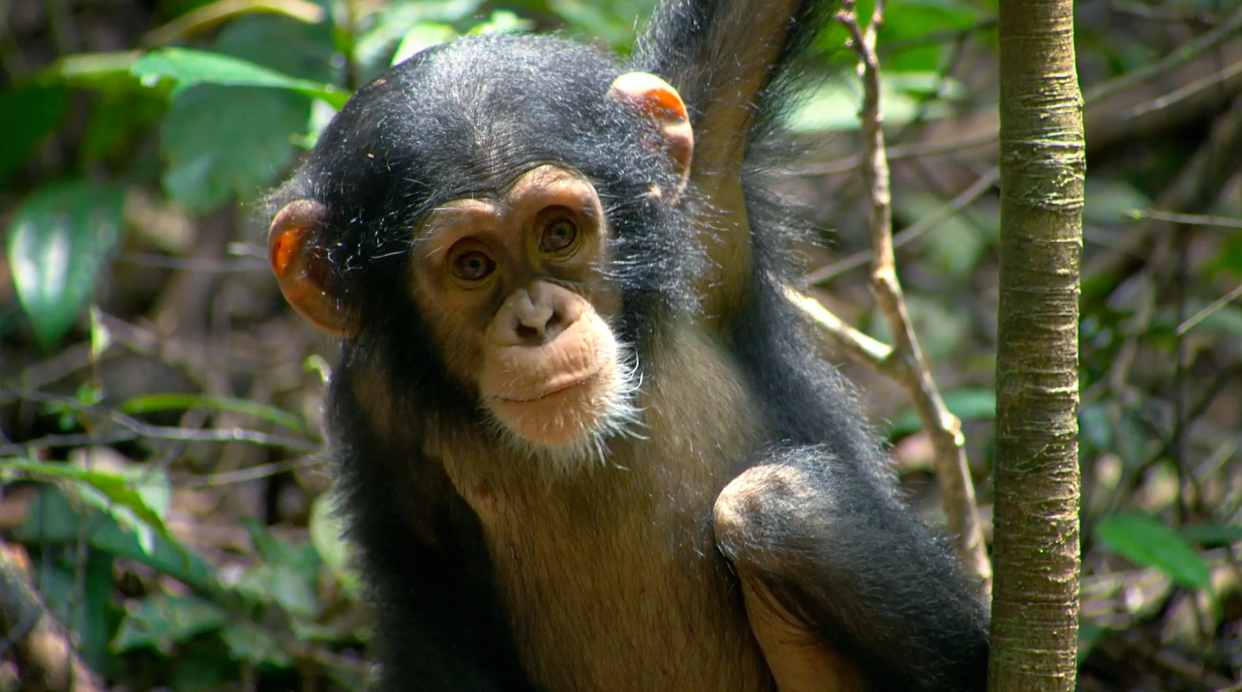 chimpance documentary disney descargar messenger