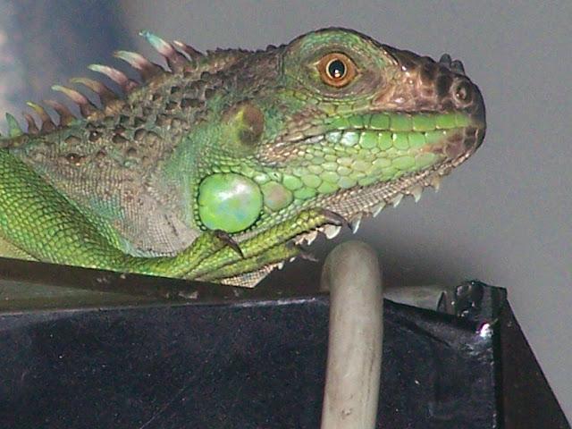 Detalle Iguana Verde