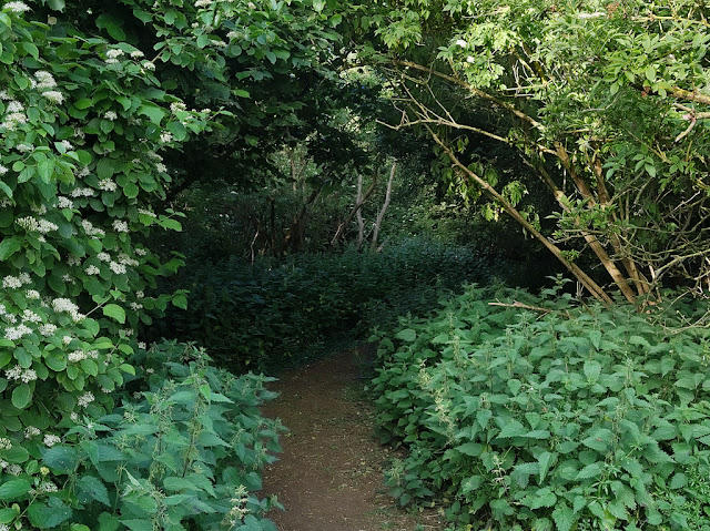 Path through woods with thick growth of nettles on either side