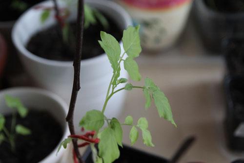 Tomaatin taimi