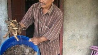 Ternak Kambing Tanpa Ngarit Tiap Hari Dengan Pakan Fermentasi