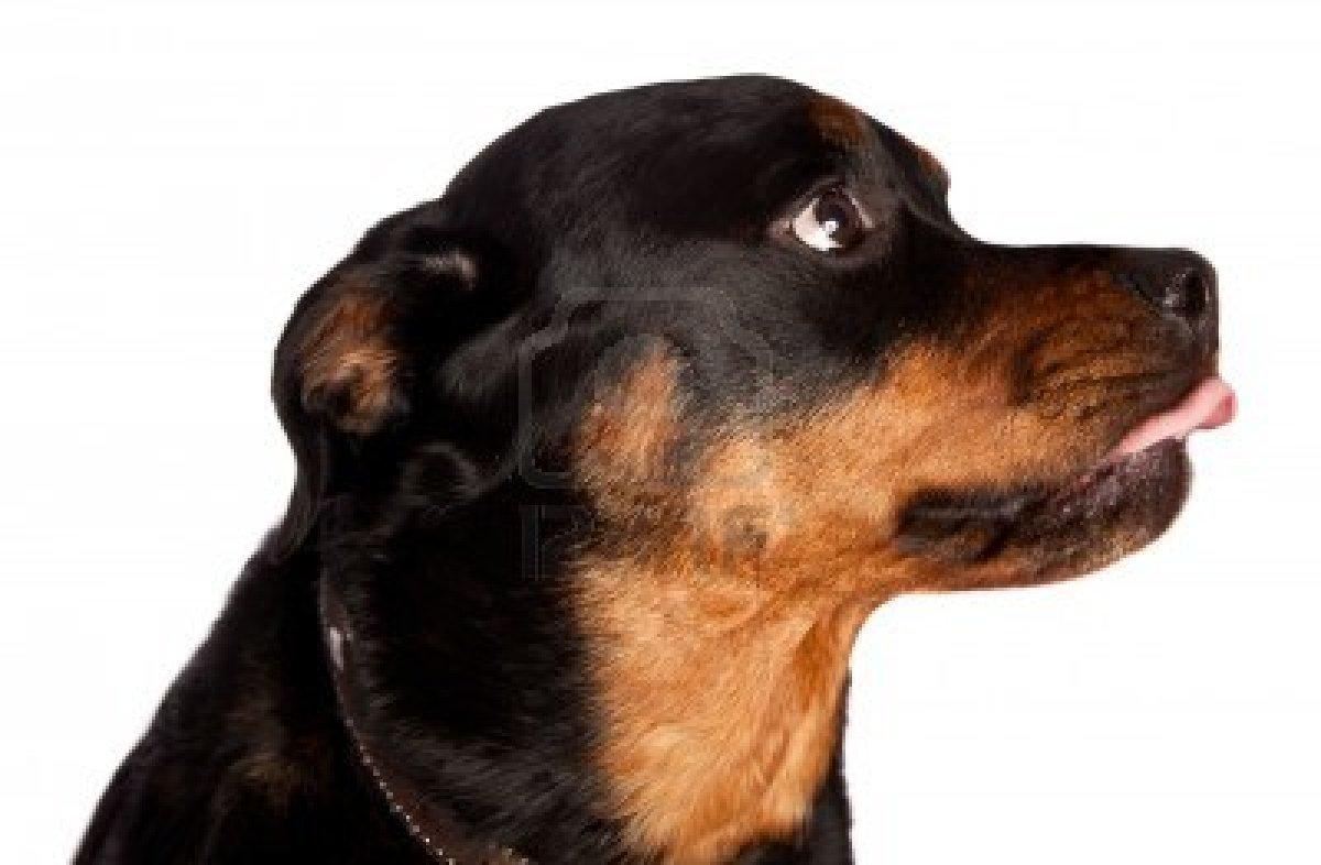 Cute dogs rottweiler dog