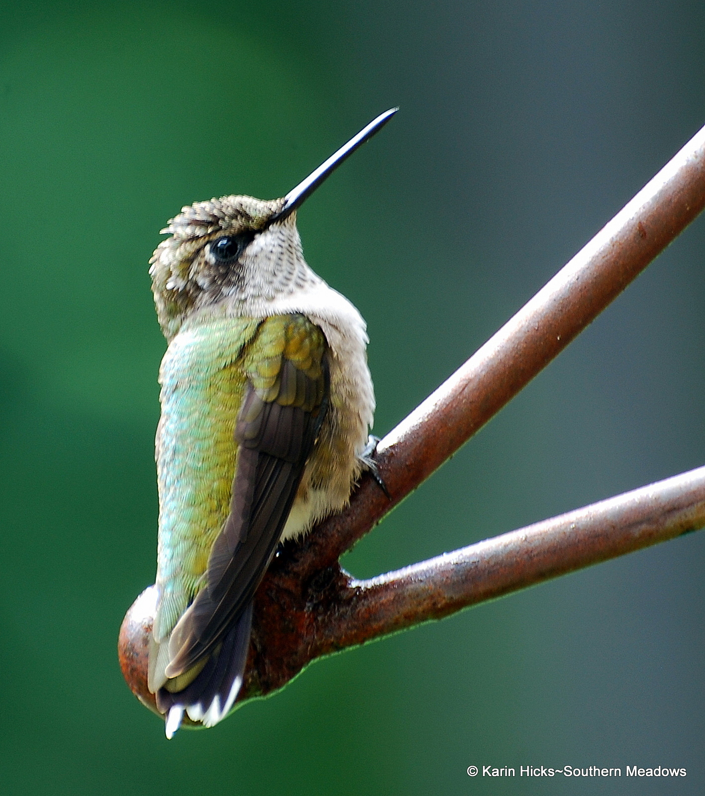 RT Hummingbirds are migrating northward