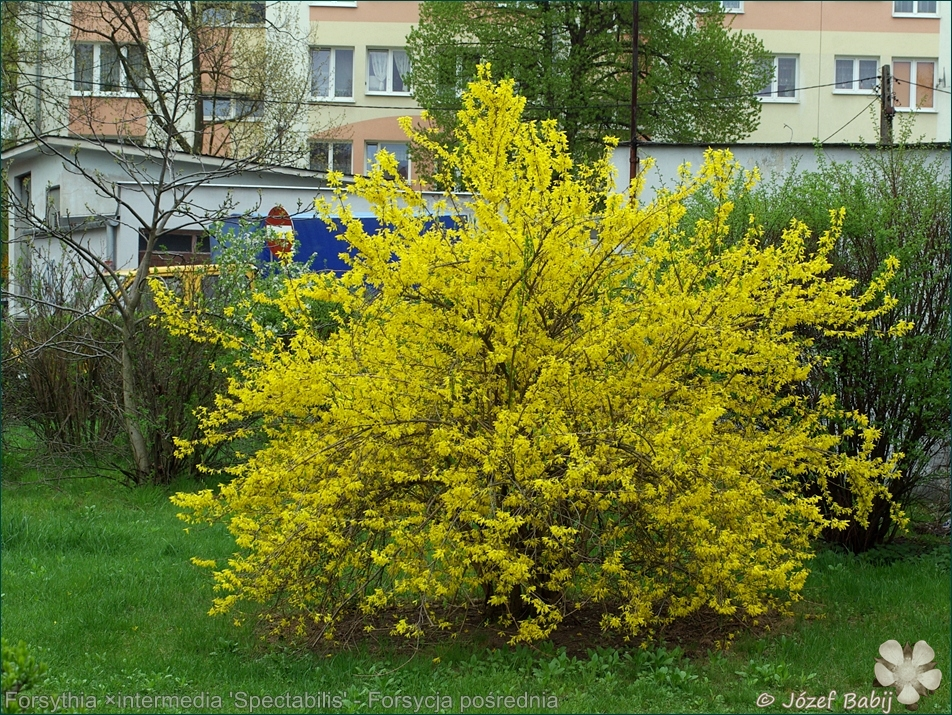 Forsythia ×intermedia 'Spectabilis' - Forsycja pośrednia 'Spectabilis' pokrój