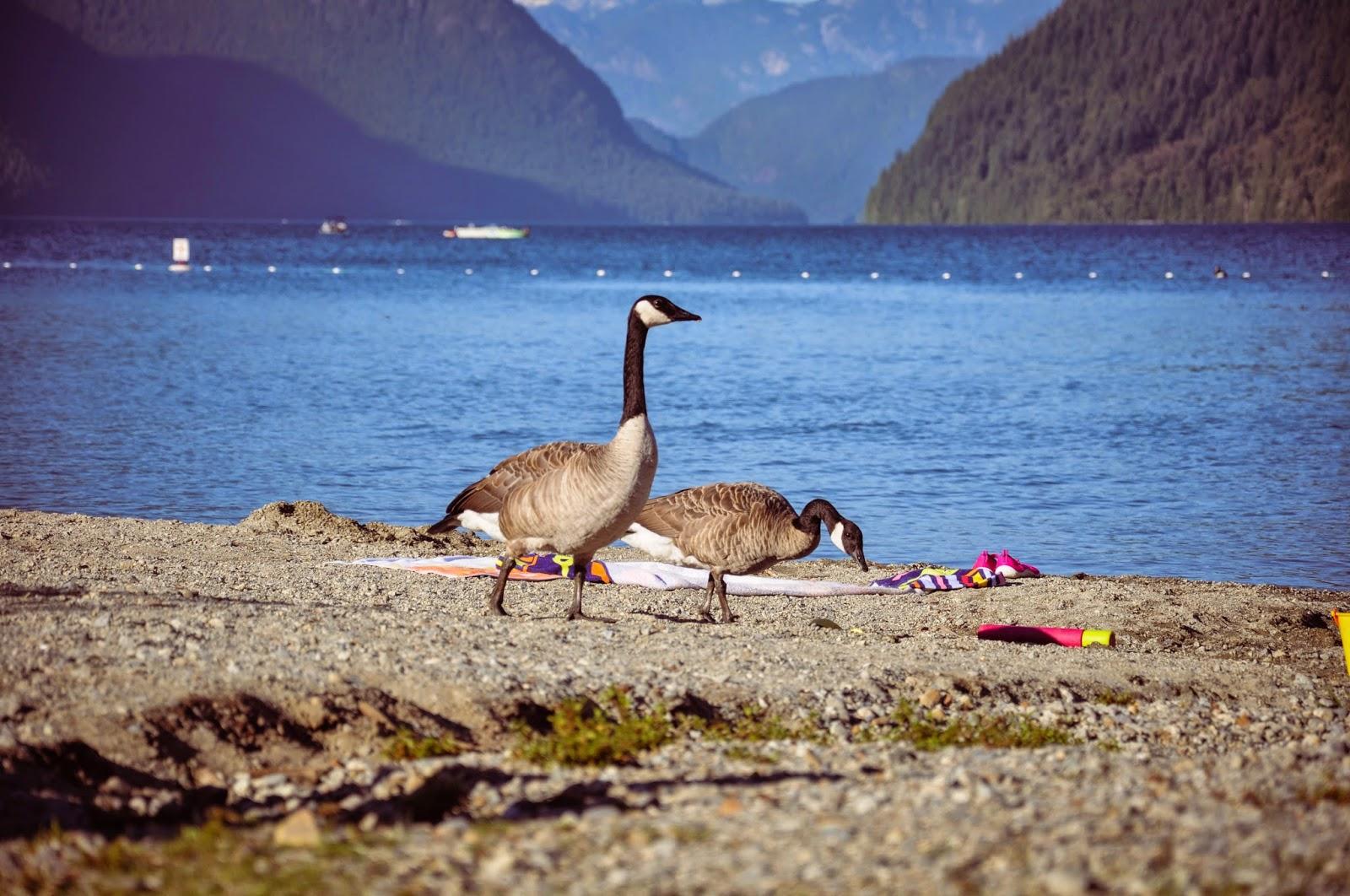 Geese \ Гуси \ Alouette Lake, BC, Canada \ Озеро Аллуэт, Канада, Британская Колумбия