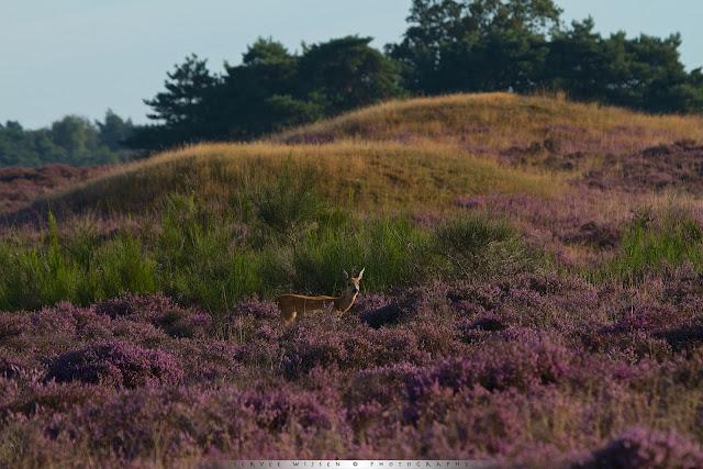 Ree met op de achtergrond één van de grafheuvels nabij de Aardjesberg - Roe Deer in front of ancient burial mound near Aardjesberg Netherlands