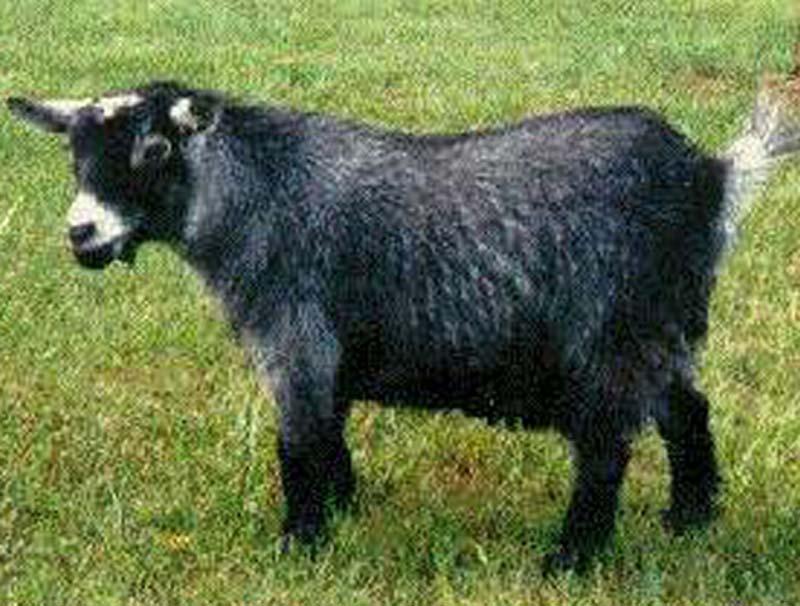 pygmy goat, pygmy goats, pygmy goat picture, pygmy goat photo