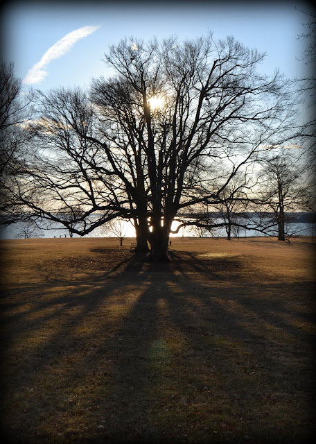 Beech Tree, Coolidge, Reservation, sun, silhouette, shadow, manchester, massachusetts