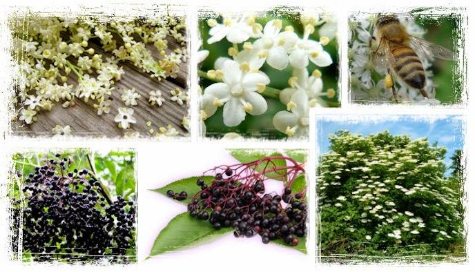 Baza čierna má drobné biele kvietky, ktoré lákajú včielky k opeľovaniu a plody sú tmavé čierne bobule. Celý krík vždy býva husto obsypaný kvetmi, ktoré majú veľa zdravotných účinkov, ktoré budú popísané v článku.