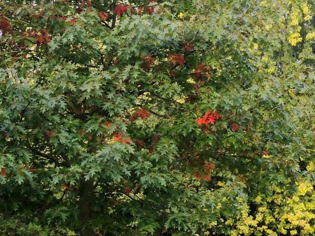 Oak tree with a few red leaves