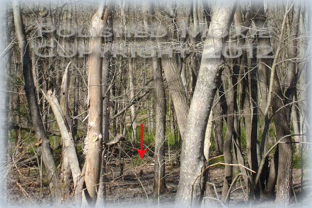 Red fox running through the woods.