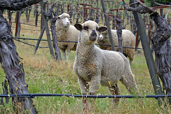 Lambscape at Sinskey Vineyards