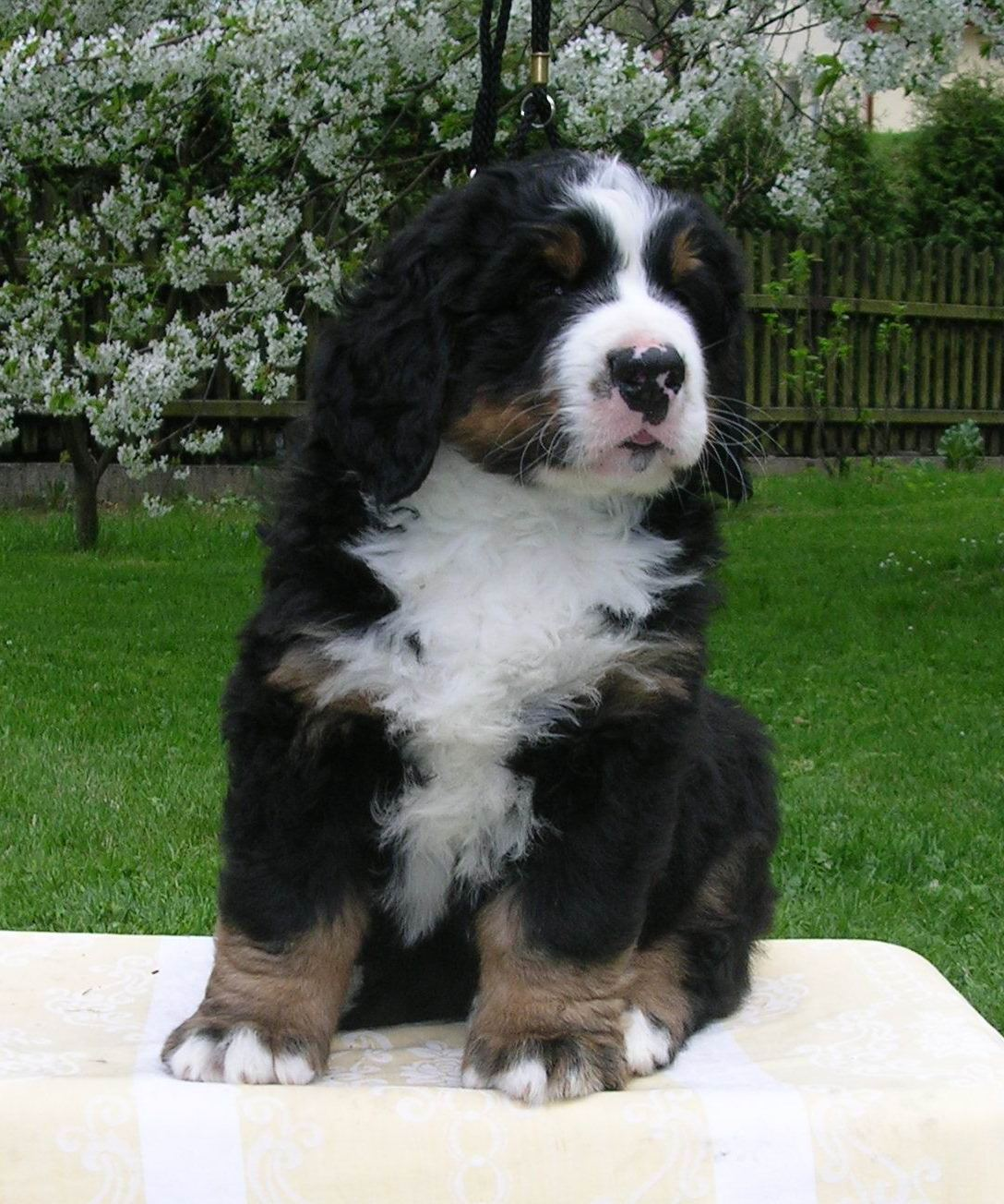 Bernese Mountain Dog Breed Pictures